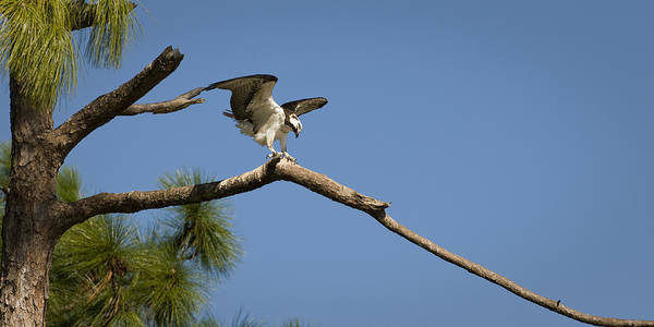 Osprey Art Print featuring the photograph Wings Of An Osprey by Chad Davis