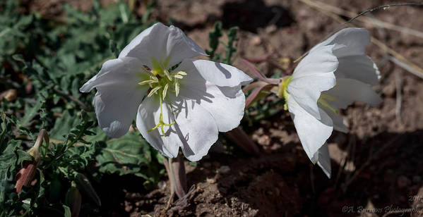 Primulaceae Art Print featuring the photograph Dual Primrose Flowers by Aaron Burrows
