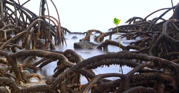 Mangrove Tree Art Print featuring the photograph Mangrove Tree Roots Detail by Dirk Ercken