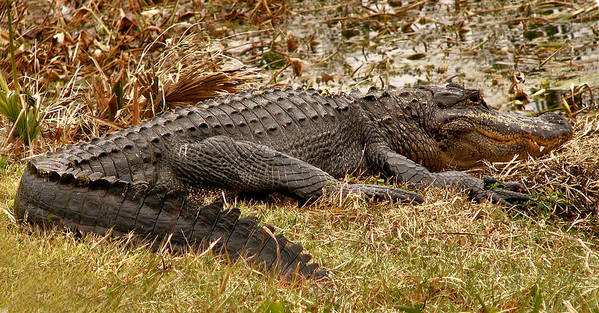 Alligator Art Print featuring the photograph Sunning Alligator. Wetlands Park. by Chris Kusik