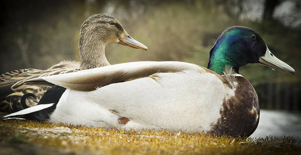 Two Art Print featuring the photograph Two Ducks by Arnold Priddie Photography