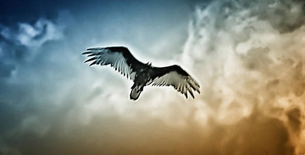 Falcon Art Print featuring the photograph Flying Falcon by Bill Cannon