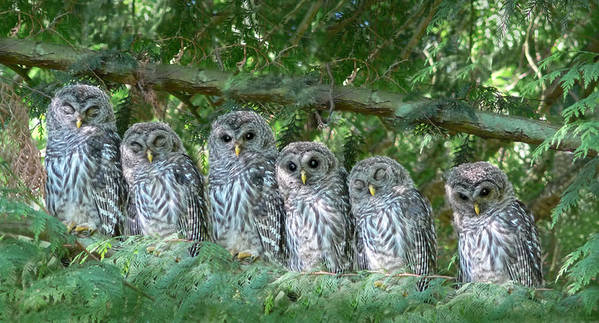 Owl Art Print featuring the photograph Barred Owlets Nursery by Jennie Marie Schell