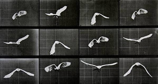 Muybridge Print featuring the photograph Bird In Flight by Eadwerd Muybridge