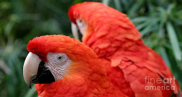 Red Art Print featuring the photograph Scarlet Macaws by Henrik Lehnerer