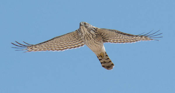 Hawk Art Print featuring the photograph Glide by Judd Nathan