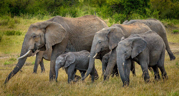 120-400mm Art Print featuring the photograph Family Of Elephants by Adrian O Brien