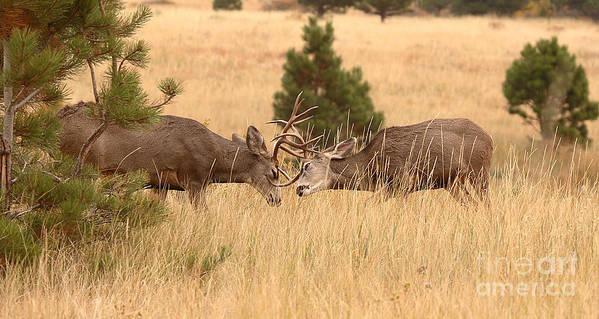 Deer Art Print featuring the photograph Mule Deer Bucks Sparring In Open Pine Woodlands by Max Allen