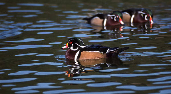 Wood Ducks Art Print featuring the photograph Boys Night Out by Skip Willits