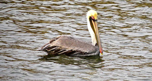 Brown Pelican Art Print featuring the photograph Brown Pelican1 by Michael Anthony