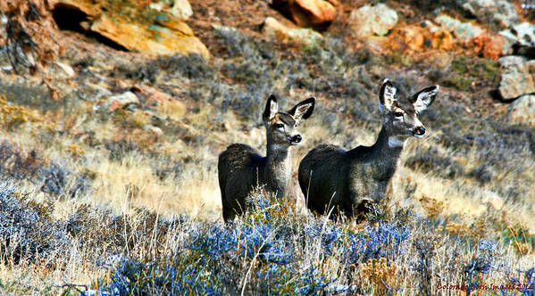 Colorado Born Images Art Print featuring the photograph Deer Alert by Rebecca Adams