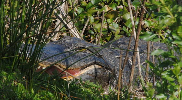 Florida Art Print featuring the photograph Hungry Alligator by Michael Terracina