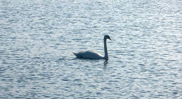Swan Photograph Art Print featuring the photograph Loneliness by Mario Perez