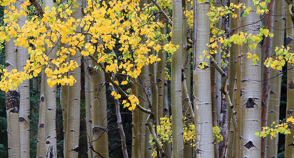 Aspen Art Print featuring the photograph Aspen Gold by Adam Pender
