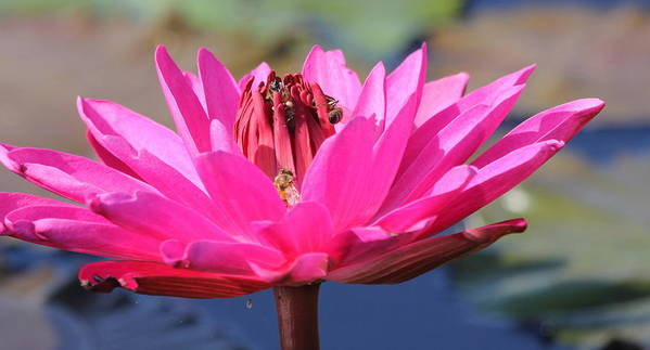 Flower Art Print featuring the photograph Pink Water Lilly by Sean Allen