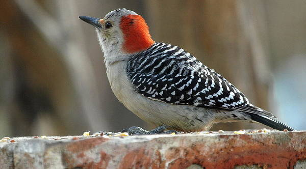 Melanerpes Carolinus; Woodpecker; Redbellied Woodpecker; Red Bellied; Bird; Garland Texas Art Print featuring the photograph First Time She Visited The Pile Of Seed On The Brick Wall by Kala King