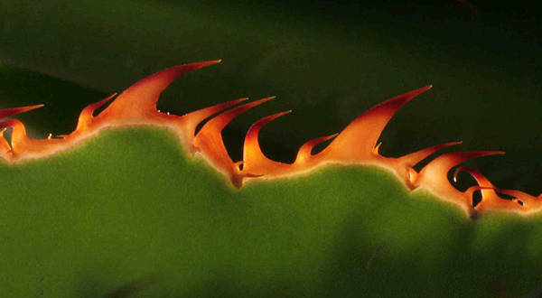 Nature Art Print featuring the photograph Flaming Aloe by Matt Cormons