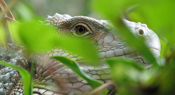 Lizard Art Print featuring the photograph I See You by April Camenisch