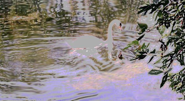 Swan Art Print featuring the photograph Ripples Subdued by Ian MacDonald
