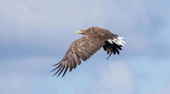 White-tailed Eagle Art Print featuring the photograph White-tailed Eagle With Lunch by Peter Walkden
