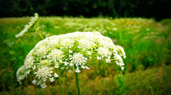 Queen Annes Lace Art Print featuring the photograph Queen Anne's Lace by Carol Toepke