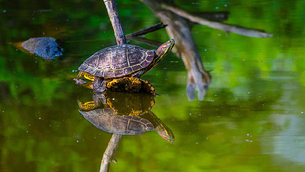 Art Print featuring the photograph Red-eared Slider by Brian Stevens