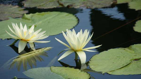 White Art Print featuring the photograph 2 Waterlilys Rising Above The Water by Rob Luzier