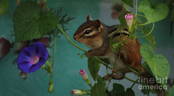 Chipmunk Art Print featuring the photograph Chipmunk In The Morning Glory Vine by Marjorie Imbeau