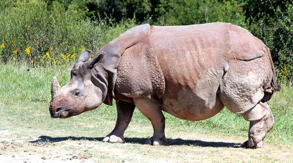 Greater Rhino Print featuring the photograph Greater One-horned Asian Rhino by Laurel Talabere