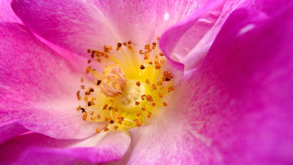 Flower Art Print featuring the photograph Pride by Cathleen Cario-Reece
