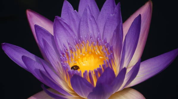 Purple Art Print featuring the photograph Purple And Bright Yellow Center Waterlily... by Rob Luzier