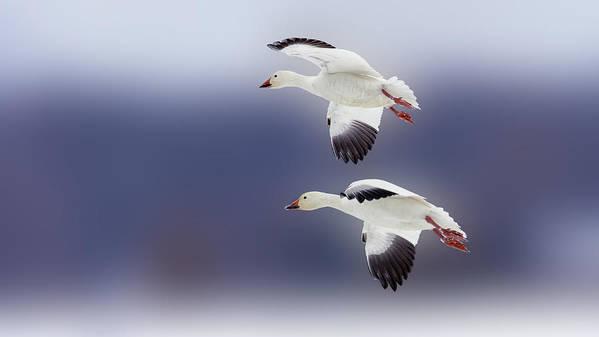 Bird Art Print featuring the photograph Snow Goose Flight by Bill Tiepelman