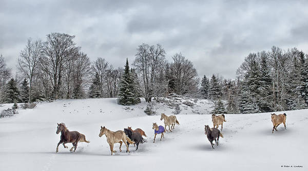 Rocky Mountain Horse Art Print featuring the photograph Winter Run by Peter Lindsay