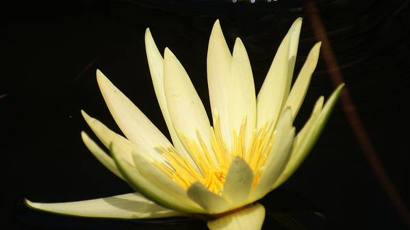 Yellow Art Print featuring the photograph Yellow And Yellow Waterlily...  # by Rob Luzier