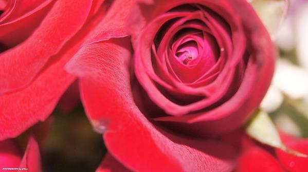 Art Print featuring the photograph Rose For You by Gornganogphatchara Kalapun