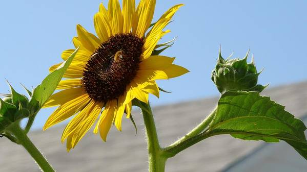 Sunflower Art Print featuring the photograph Basking In The Sun by Sharon Harrison