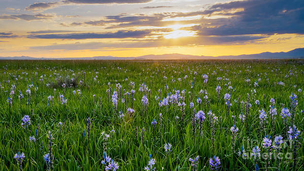 Camas County Art Print featuring the photograph Camas Fields by Idaho Scenic Images Linda Lantzy