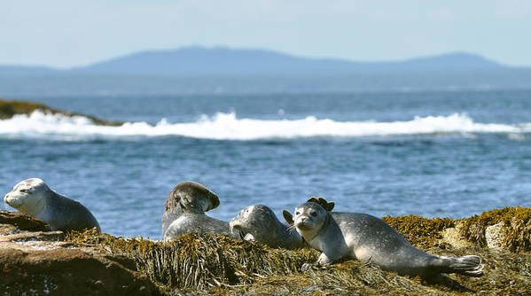 Seals Art Print featuring the photograph Guardians Of Agementicus by Rick Frost
