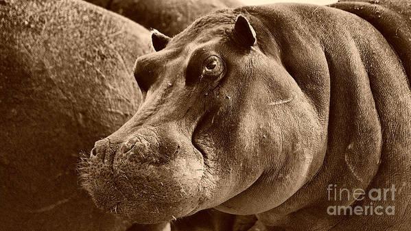 Hippo Art Print featuring the photograph Hippo Of Khwai by Mareko Marciniak