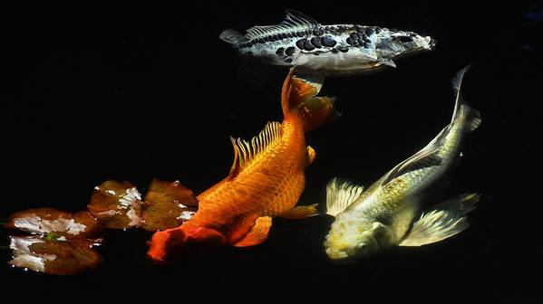 Koi Art Print featuring the photograph Koi By The Lillies by Don Mann