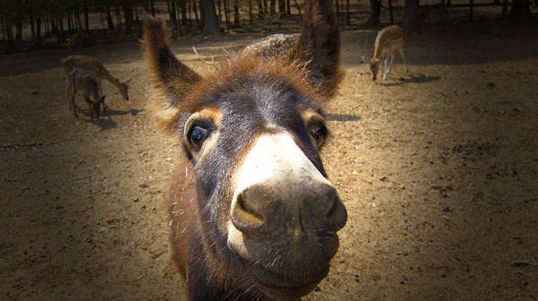 Donkey Art Print featuring the photograph That Looks Eye-popping Good by Douglas Barnard