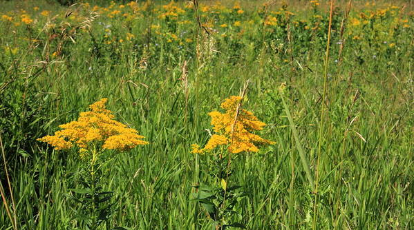 Flowers Art Print featuring the photograph Two Yellow Wildflowers by Jim Sauchyn