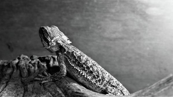 Black And White Art Print featuring the photograph Bearded Dragon by Kyle Farr