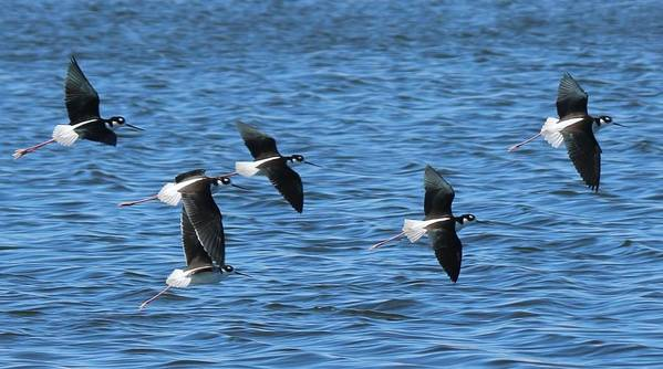 Black Art Print featuring the photograph Black-necked Stilts In Flight - 2 by Christy Pooschke