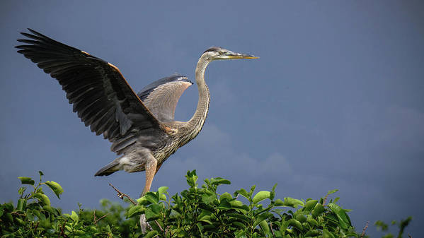 Florida Art Print featuring the photograph Great Blue Heron Delray Beach Florida by Lawrence S Richardson Jr