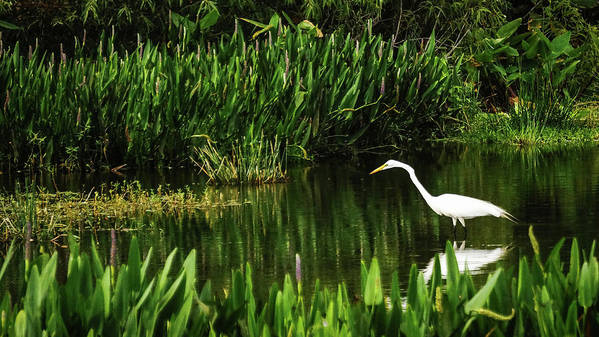 Florida Art Print featuring the photograph Great White Heron Green Cay Wetlands by Lawrence S Richardson Jr