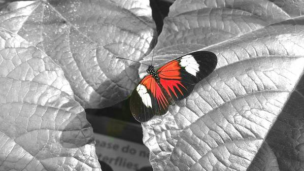 Butterfly Art Print featuring the photograph Hint Of Color by Amanda Howell