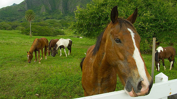 Horse Art Print featuring the photograph Horses At Kualoa Ranch by Peter OBrien