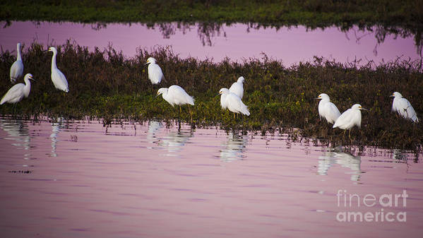 Marsh Art Print featuring the photograph Snowy Egrets At Sunset by Rich Governali