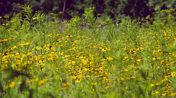 Nature Art Print featuring the photograph Susans In A Green Field by Randy Oberg